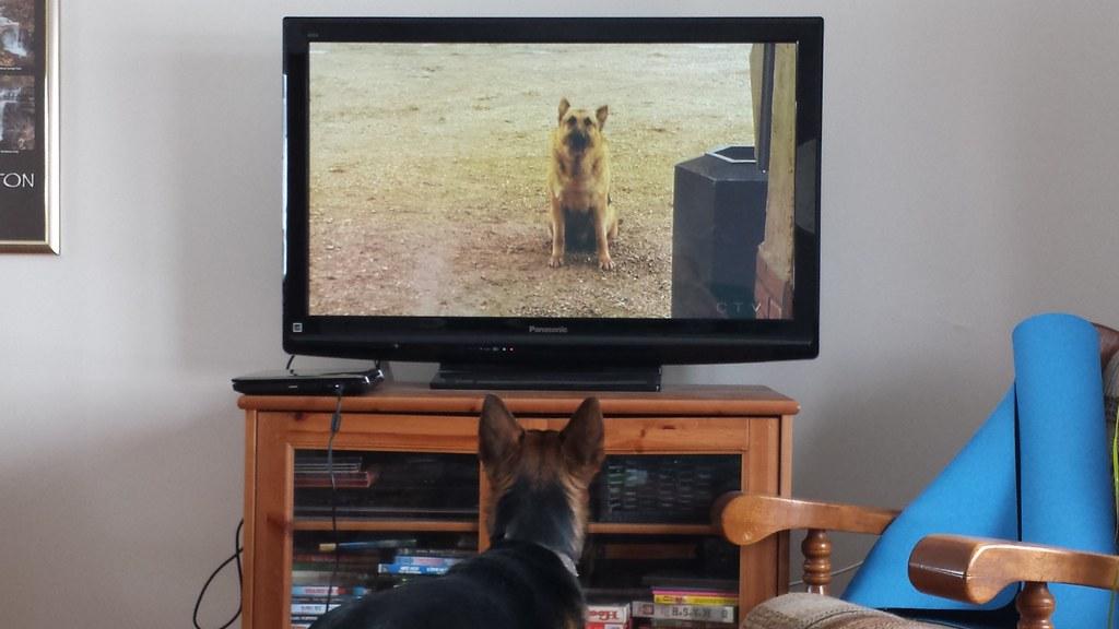 Собака смотрит на собаку по телевизору фото