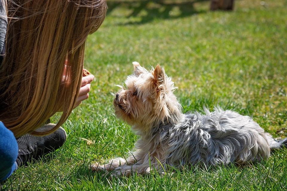 Йоркширский терьер собака тренировка фото