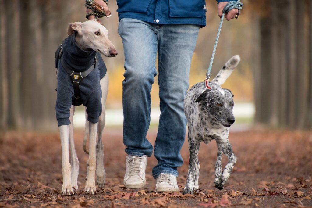 Человек гуляет с двумя собаками на поводках фото