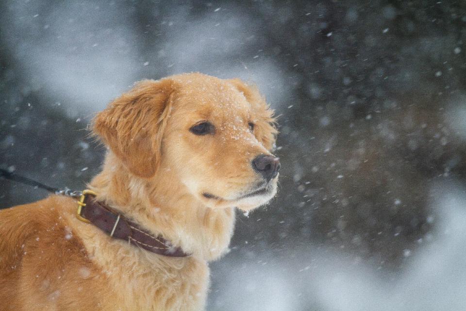 Рыжая собака в снегопад фото крупным планом